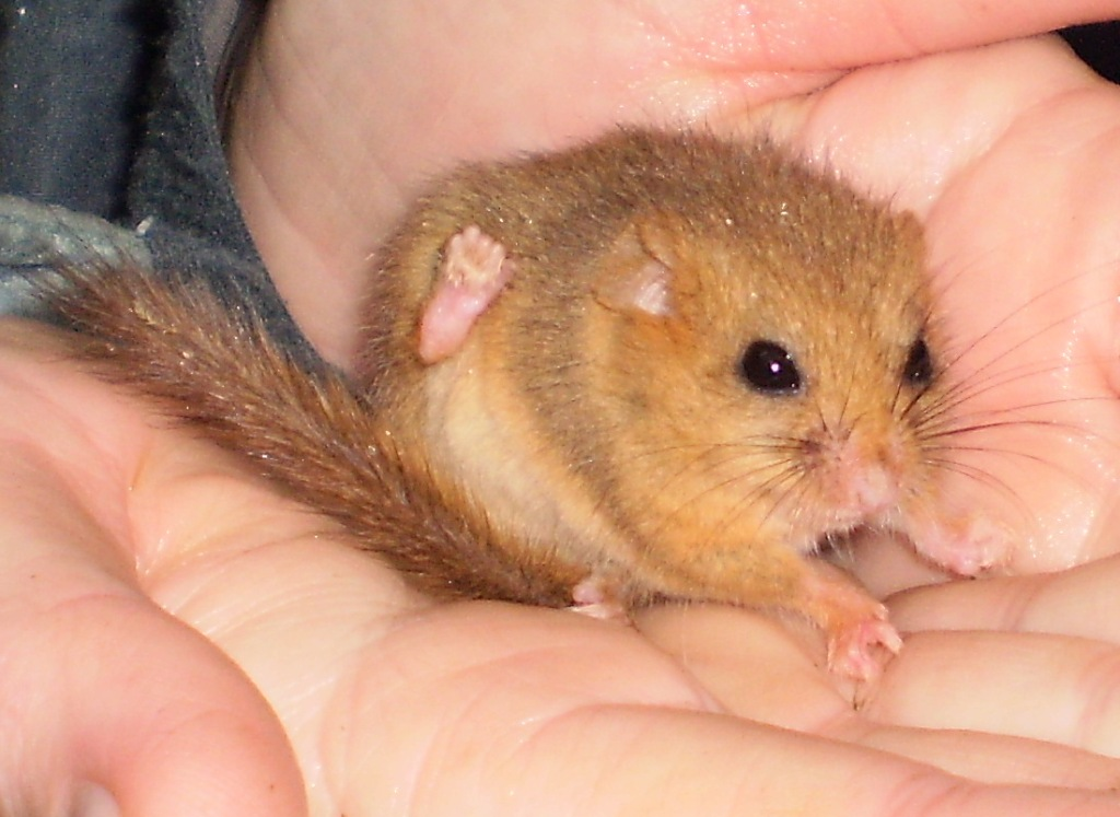 dormouse, ecology training