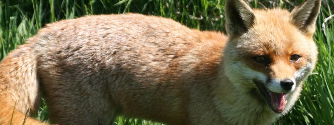 Fox, Ecology Training