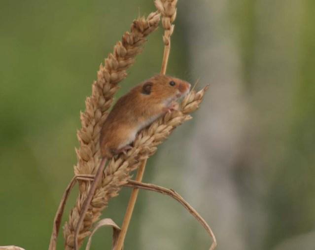 harvest mouse, ecology training