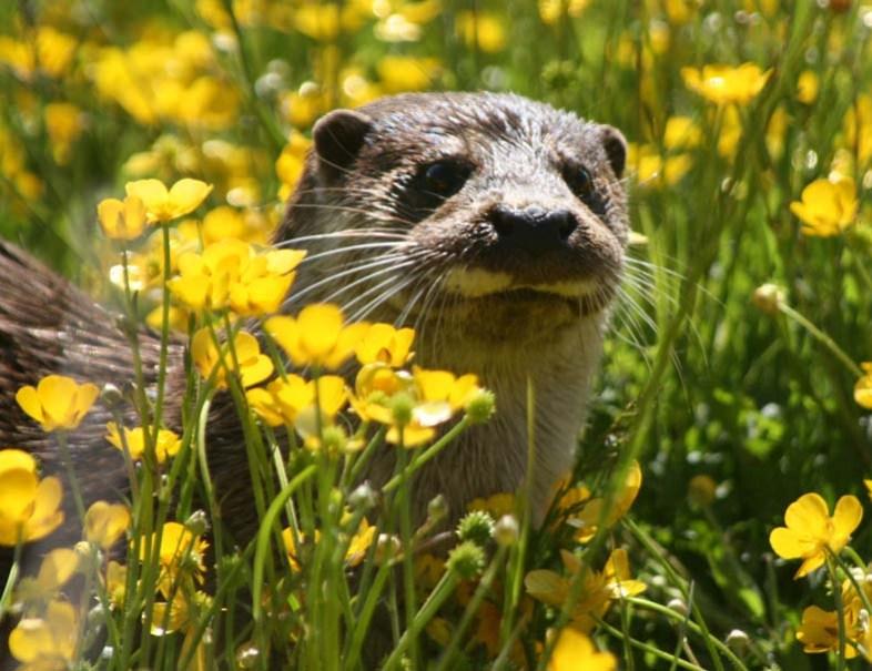 Otter, ecology training