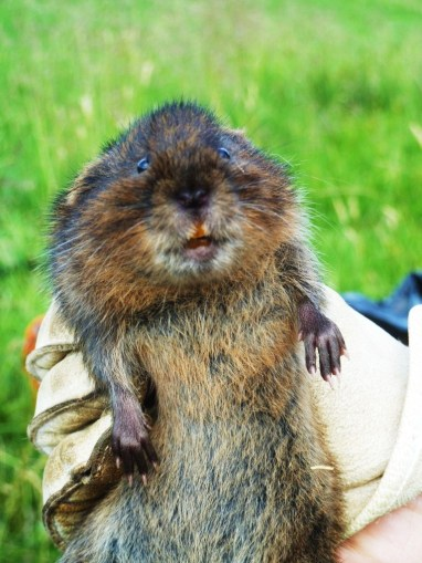 water vole, ecology training